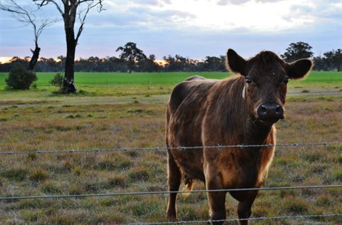 Cow at Pearson Road.jpg
